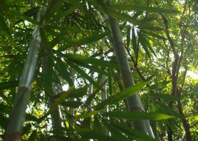 Bambus v deštném pralese
