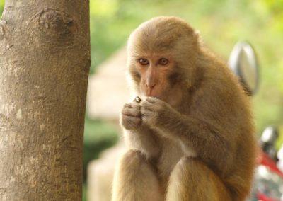 Opice na Monkey Mountain
